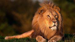 Aja como um rei: Imagem de um leão
