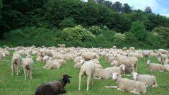 Pense como quiser: imagem de um grupo de ovelhas brancas e uma ovelha negra
