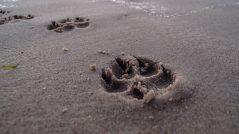 Evite seguir as pegadas de um grande homem: imagem de uma pegada de felino grande na areia