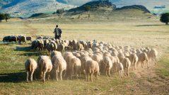 Ataque o pastor: imagem de um pastor com suas ovelhas
